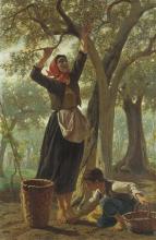 Bechi, La raccolta delle olive.png